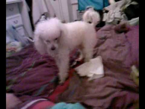 Teacup chihuahua and white maltipoo playing