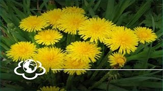 Кульбаба та гравілат міський - рослини