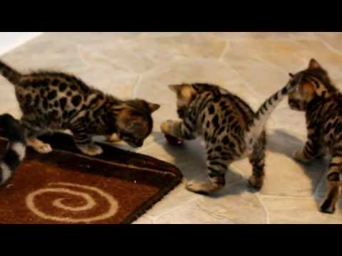 Bengalen - These Brown spotted Bengal kittens are almost 5 weeks old (born Dec 20, 2012). They are having fun exploring their surroundings and discovering new toys. Che...