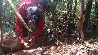 Video Cara menangkap babi hutan di sul-sel luwu timur. MP3, 3GP, MP4, WEBM, AVI, FLV Oktober 2018