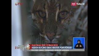 Download Video Heboh!! Warga Aceh Barat Temukan Kucing Emas di Pemukiman - BIS 13/03 MP3 3GP MP4