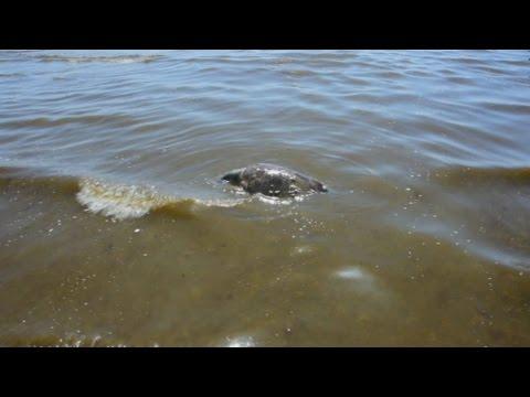 Χελώνα Καρέτα Καρέτα χτυπημένη στην παραλιακή Ναυπλίου
