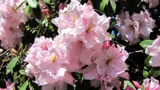 Olinda Australia  city photos gallery : National Rhododendron Garden, Olinda - Victoria, Australia.