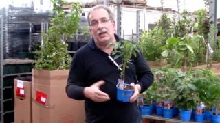#353 Flavance - vielleicht eine der besten Tomaten