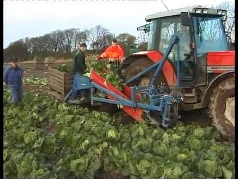 how to harvest napa cabbage