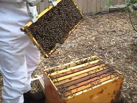 Beekeeping: Checking Hive for Swarming or Splitting