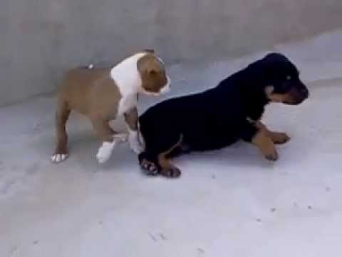 little rottweiler vs little pitbull