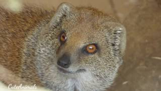Yellow Mongoose-animals in South Africa