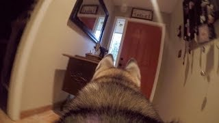 Video What Does My Husky Do When Home Alone? *GoPro Spy Footage* MP3, 3GP, MP4, WEBM, AVI, FLV Juli 2018
