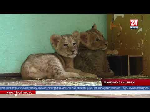 В зоооуголке  Детского парка появились маленькие лев и львица