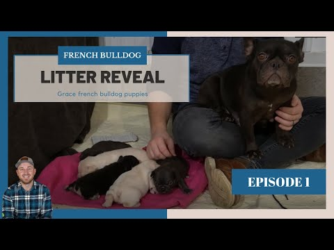 French Bulldog Puppies  -  Grace and Nicki Frenchie Litter Reveal - Episode 1