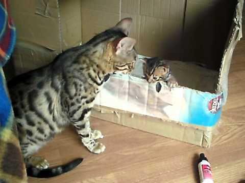Mama mačka razgovara sa mačićima