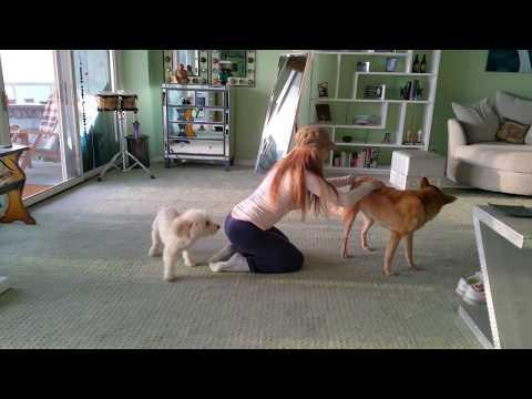 XxX Hot Indian SeX Jealous Poodle Needs Attention by Hanala Sagal Elvis Nixon Comedy Wellness.3gp mp4 Tamil Video