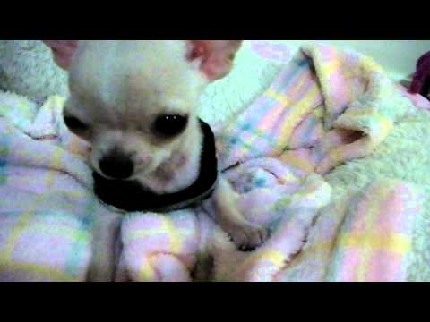 Video New Member: Chihuahua puppy download in MP3, 3GP, MP4, WEBM, AVI, FLV January 2017