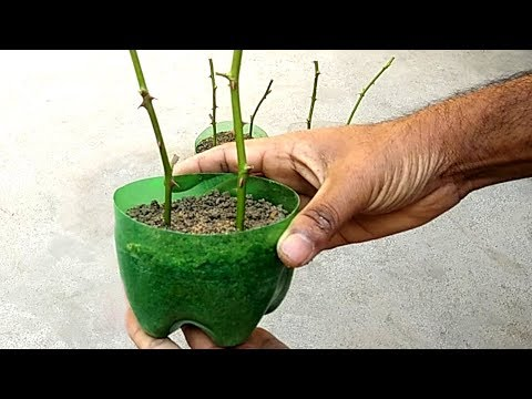 Grow roses from cuttings | Gardening ideas