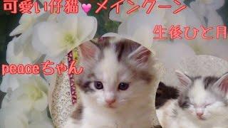 2016年5月12日生まれ可愛い仔猫のピースちゃん 女の子ですひと月経ちました今日の体重 885グラム純血のメインクーンですcattery yakumoやくもnyanhttp://yakumonyan.com/島根県松江市で猫カフェとメインクーンのキャッテリーをしていますご紹介のピースちゃん 販売中です
