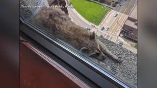 Video Raccoon survives climb up Minnesota skyscraper MP3, 3GP, MP4, WEBM, AVI, FLV Juni 2018