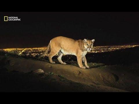 MOUNTAIN LION OF HOLLYWOOD - BBC NEWS