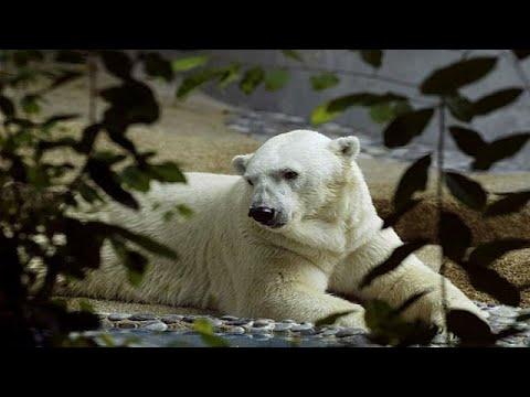 العرب اليوم - وفاة أول دب قطبي يولد في مناخ مداري