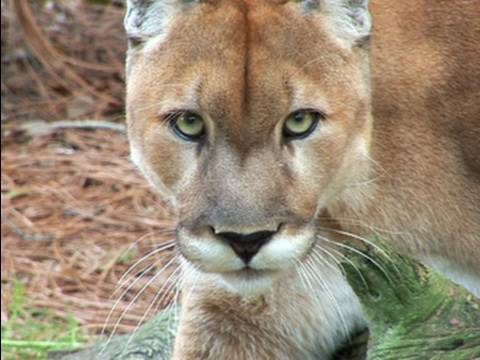 cougar - Cougar/Mountain Lion/Panther/Puma/Grey Ghost, whatever these cats are known by, they are very unique animals. Watch the video to learn more about this cat an...