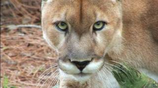 Download video youtube - Mountain Lion Species Spotlight