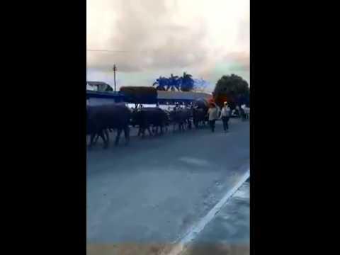 Desfile caros de boi em turvania