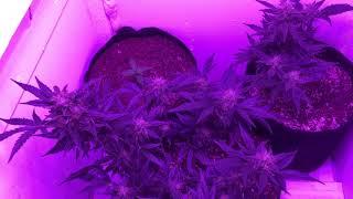 Grow Room Update by Phat Robs Oils