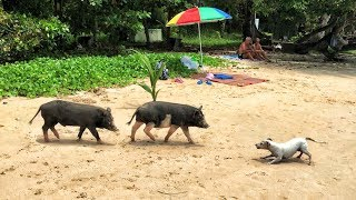 Jack Russell Terrier & Two Wild Pigs met at the Laem Ka Beach