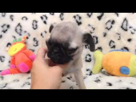 Playful & Petite Female Pug!