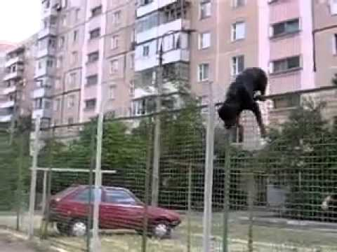 incredible jump of a rottweiler!