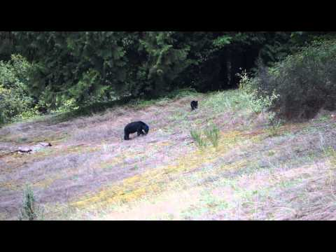 """Bear with mysterious """"blue head"""" spotted off highway in BC."""