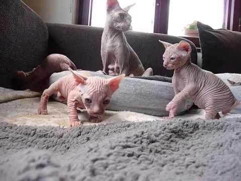 Baby Sphynx Kittens (Video)