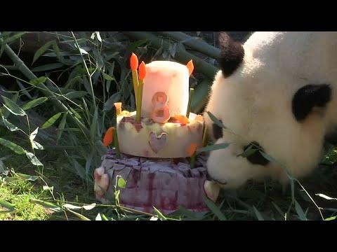 Berlin: Panda-Männchen feiert im Berliner Zoo Geburts ...