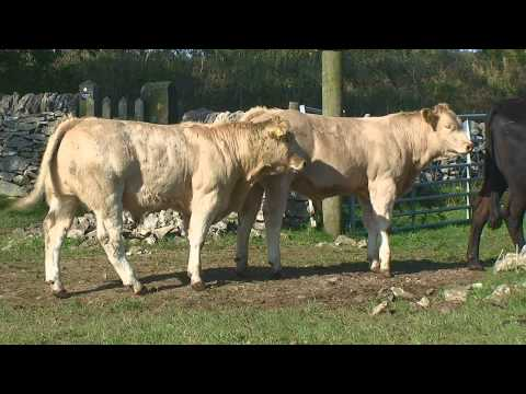 Charolais Suckler Calves from an Upland Farm