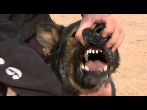 SEALs' Top Dog: German Shepherd