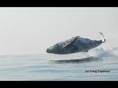 H σπάνια στιγμή που φάλαινα 40 τόνων πηδάει ολόκληρη έξω από το νερό