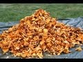 How to find 20 kg chanterelles in a day! Lets follow the Chanterelle king for a day.