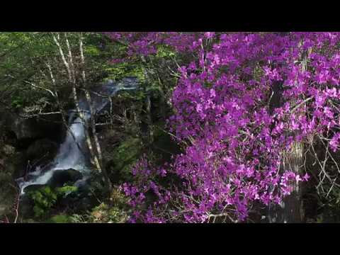 竜頭ノ滝のトウゴクミツバツツジ