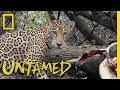 Jaguars Gorge on Sea Turtles | Untamed