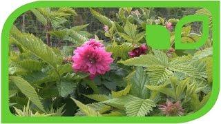 Die Lachshimbeere - Rubus spectabilis