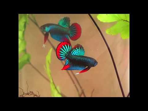 Amazing rare wild betta imbellis flaring - franksbettas
