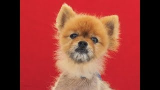 """A5088408 Mochi is a cute 10-year-old carmel neutered male Pomeranian who came to the Baldwin Park Animal Care Center as an owner surrender on July 11th (no reason given). Weighing 10 lbs, Mochi is so full of personality that his handler named him Mr. Social Butterfly...he loves everyone, both people and dogs. Mochi is a true gentleman who wants to please everyone around him. He has the cute """"teddy bear"""" face that Pomeranians are known for and a sweet disposition to match. This friendly guy is truly a great ambassador for his breed. Mochi does have alopecia, a hair loss condition that usually can be easily treated. This wonderful gentleman will make someone an awesome indoor pet and loving companion. For more information on this pet, contact volunteer UHA adoption coordinator Meena at 706-504-1810 or meena@hope4animals.org. Please CALL or EMAIL—do not text.United Hope for Animals is not a facility. To CHECK THE STATUS of this animal, contact the BALDWIN PARK SHELTER in person, by phone or on their website:Address: 4275 Elton St, Baldwin Park, CA 91706Phone: (626) 962-3577Website: http://1.usa.gov/1oB6G0pIf you end up adopting this animal, please give a shout out to #unitedhopeforanimals @UnitedHope on social media,  leave a comment here as a thank you to our Volunteers, or donate to UHA at http://unitedhope4animals/donate. Thank you for looking! Please SHARE this animal if you are unable to adopt. United Hope for Animals links:ADOPTABLE PETS: http://goo.gl/gY1ReUFACEBOOK: https://www.facebook.com/UnitedHopeTWITTER: https://twitter.com/UHope4AnimalsINSTAGRAM: http://instagram.com/unitedhopeforanimalsWEBSITE: http://unitedhope4animals.orgOur Mission:United Hope for Animals is dedicated to reducing homelessness among companion animals through spay/neuter, shelter support, photography, video and networking of shelter animals in Southern California. It is an all-volunteer, non-profit organization working to end homelessness among companion animals by supporting shelter ad"""
