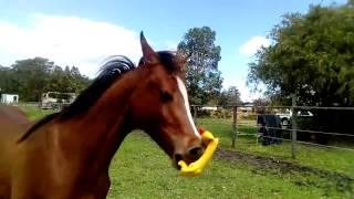 Koń zabawiający się gumowym kurczakiem :P