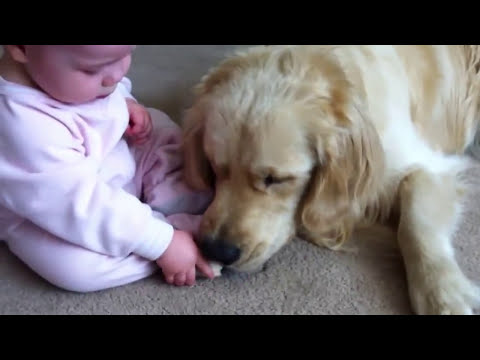 golden retreiver - UPDATE: As I mentioned in the comments that I initially posted with this video, based on our dog's extensive training, temperament, and exceedingly gentle pr...