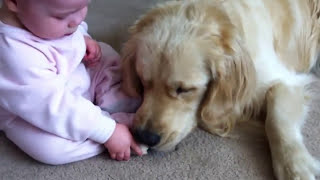Baby Tries to Get Bone from Golden Retriever