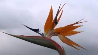 #978 Strelitzie - Stadtblume von Los Angeles und Neustrelitz