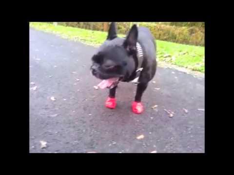Test Pfotenschutz für Hunde: Pawz / Madox.Der Frenchie
