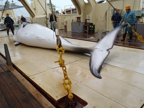 Japanese whaling ships set out to hunt some 300 whales in the name of science after reworking its programme in accordance with an international treaty on scientific whaling.