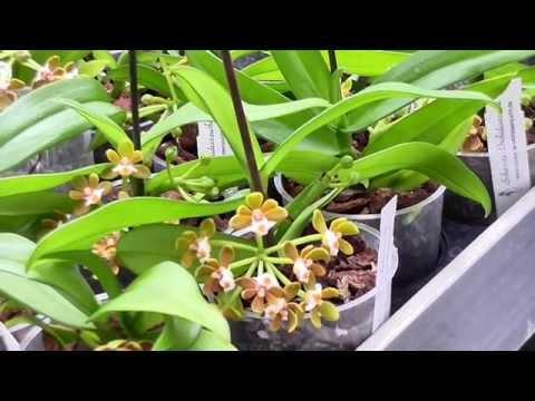 Orchideen Arten: Gastrochilus acutifolius