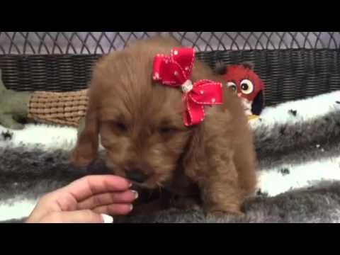 Loving, Fluffy, Red Goldendoodle
